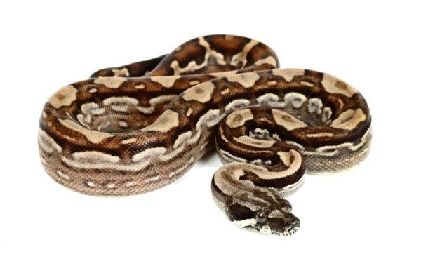 boa pour charmeuses de serpents
